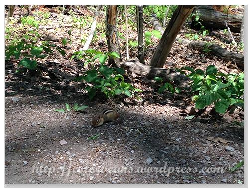 超可愛的花栗鼠 chipmunk ~