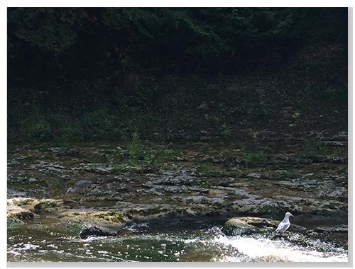 河邊的鳥兒在享用鮮魚大餐