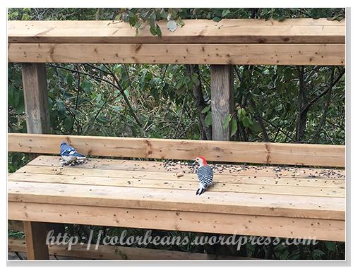 啄木鳥和blue jay