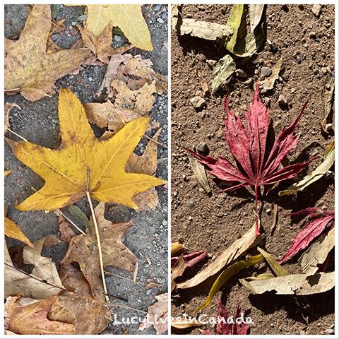 左邊是一般楓葉,右邊是日本楓葉