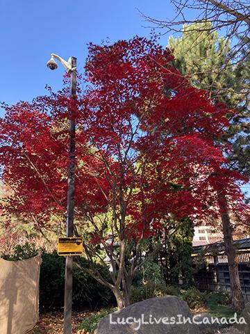 日本楓樹 Japanese Maple