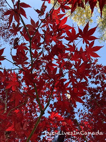 Japanese Maple很漂亮唷